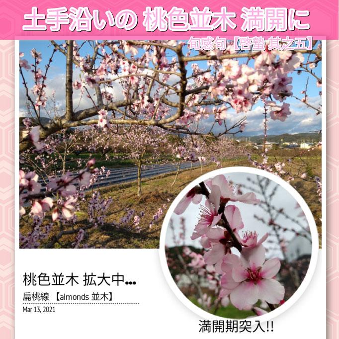 旬感句 【啓蟄 其之五】 『土手沿いの 桃色並木 満開に』