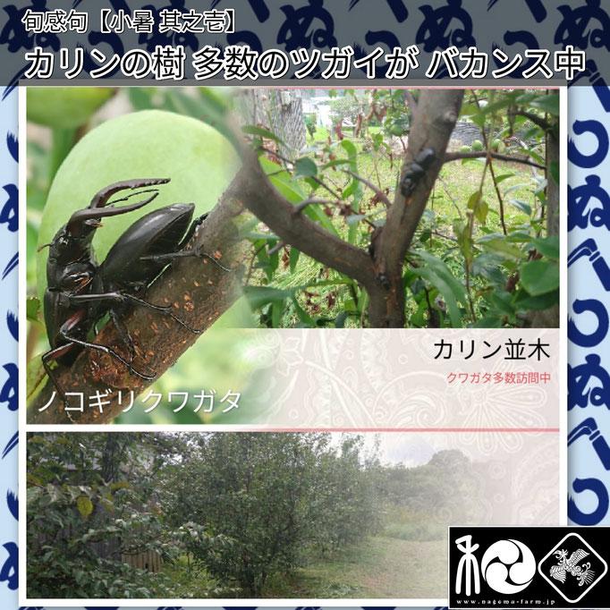 旬感句 【小暑 其之壱】 『カリンの樹 多数のツガイが バカンス中』