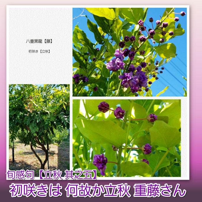 旬感句 【立秋 其之五】 『初咲きは 何故か立秋 重藤さん』