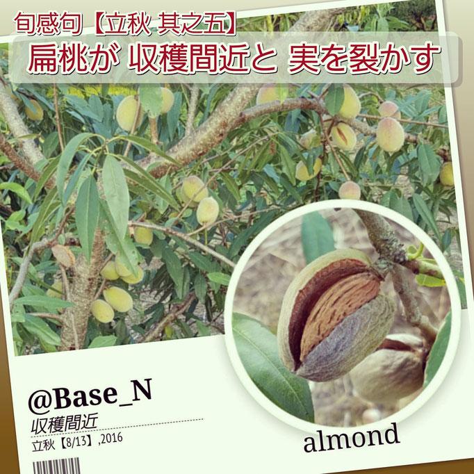 旬感句【立秋 其之五】 『扁桃が 収穫間近と 実を裂かす』