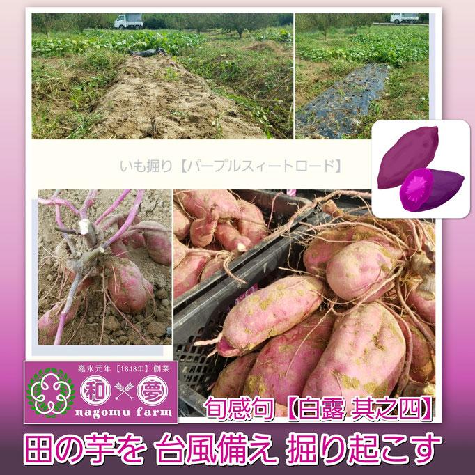 旬感句 【白露 其之四】 『田の芋を 台風備え 掘り起こす』