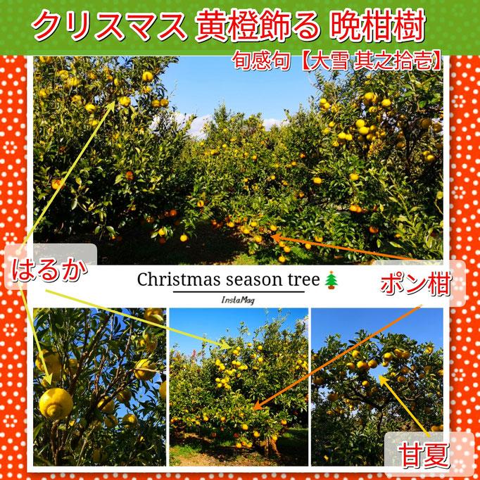 旬感句 【大雪 其之拾壱】 『クリスマス 黄橙飾る 晩柑樹』