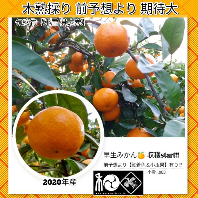 旬感句 【小雪 其之参】 『木熟採り 前予想より 期待大』