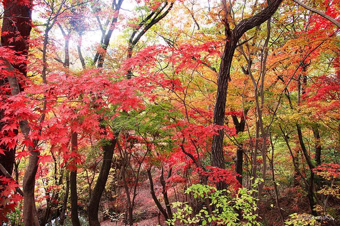 もみじ坂②(神戸市立森林植物園)