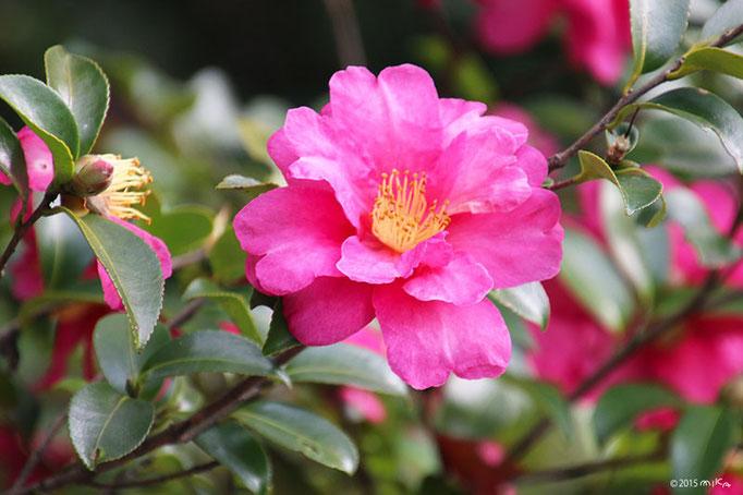 サザンカの花(紅色)②