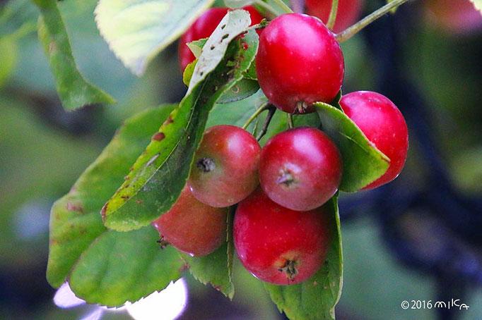熟した姫リンゴ(10月)