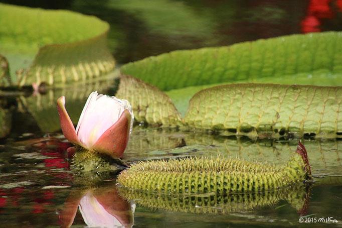 パラグアイオニバスの花