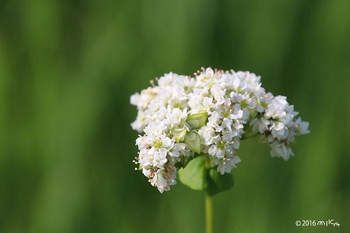 そばの花(白)③