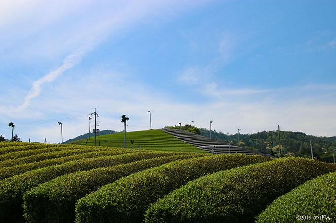新しく植えた茶畑(京都府和束町)