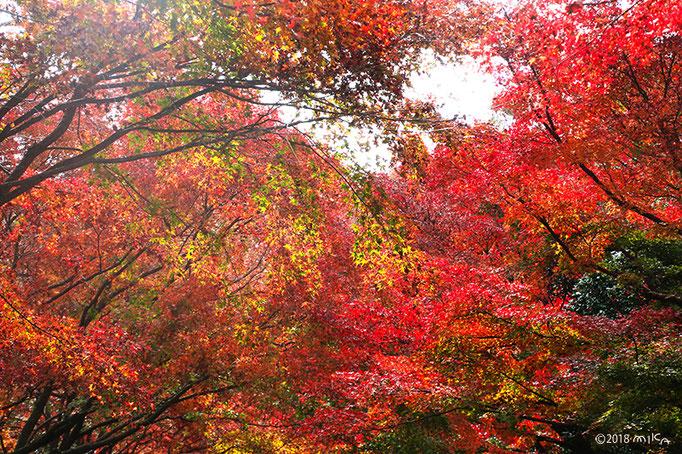 神戸市立森林植物園入口付近のもみじのトンネル
