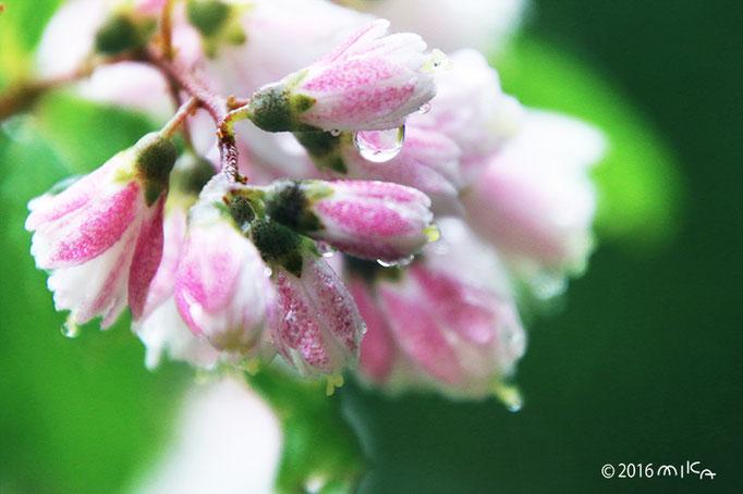 サラサウツギに雨のしずく