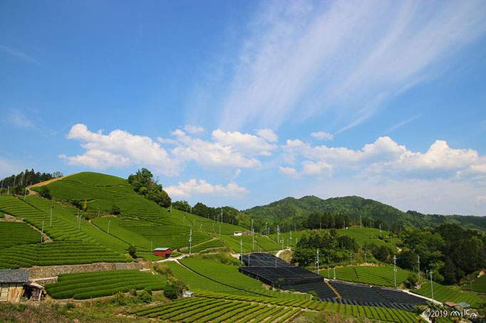 「石寺の茶畑」②(京都府和束町)