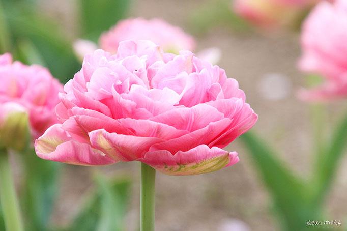 八重咲きのチューリップ(ピンク)