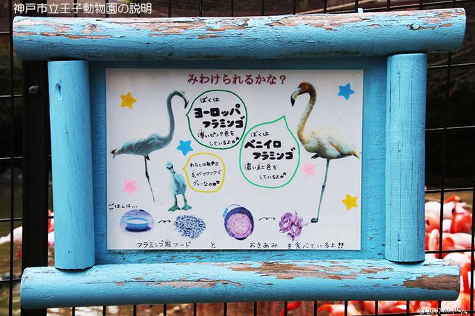 見分けられるかな(フラミンゴの種類についての神戸市立王子動物園の説明)