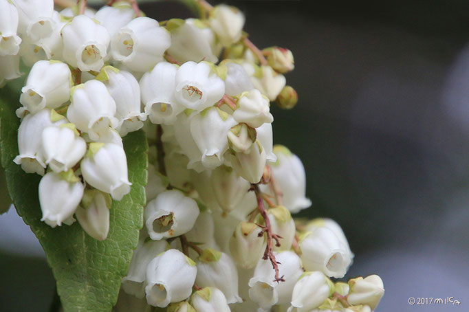 アセビの花の内側