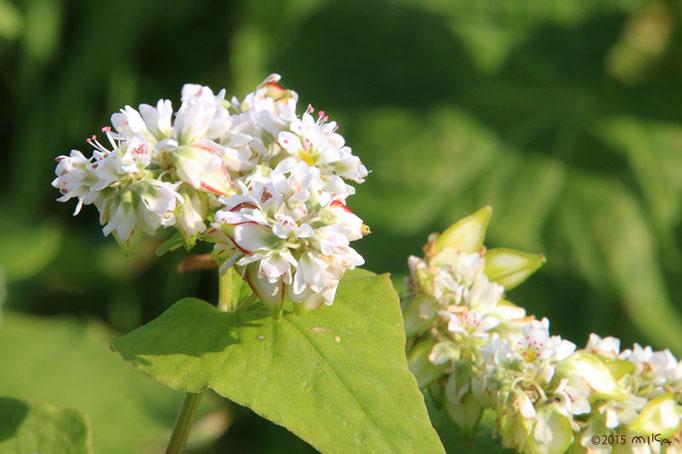 白ソバの花(あわじ花さじき)