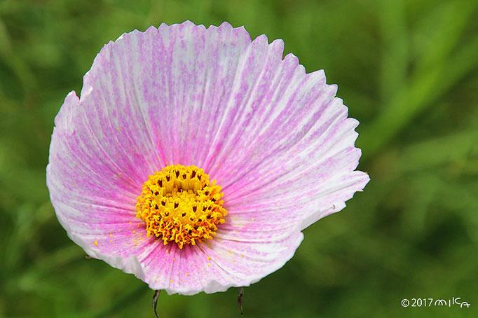 切れ目がなく見える変わり咲きコスモス(うすいピンク)