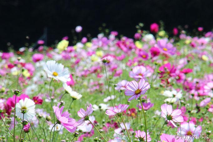 ふんわりと咲くコスモス
