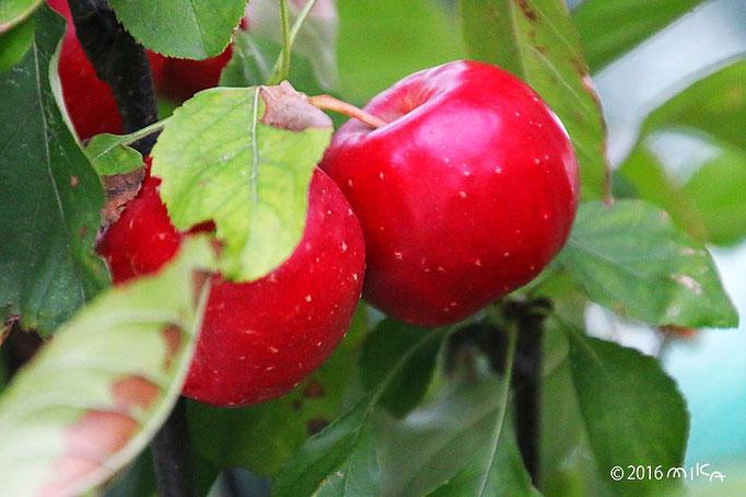 姫リンゴ2つ(10月)