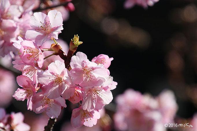 カワヅザクラ(河津桜)満開の枝