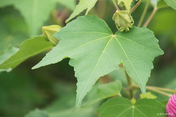フヨウの葉