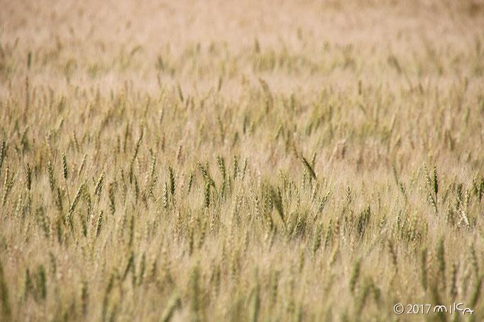 広がる麦畑