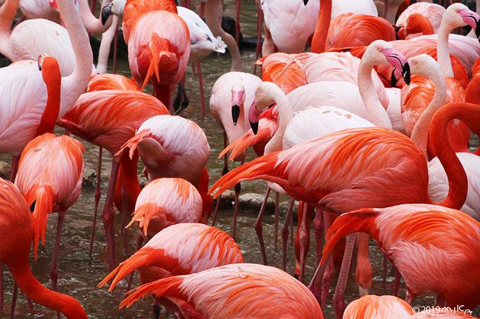 フラミンゴの群れ③(神戸市立王子動物園)
