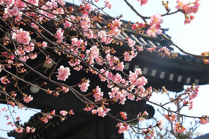 河津桜(三十三間堂)