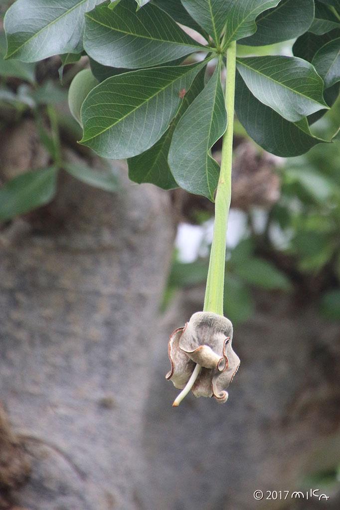 バオバブの花の終わり