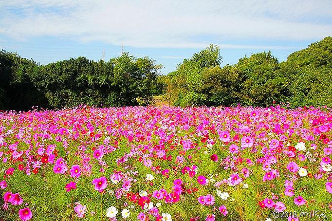 万博記念公園花の丘のコスモス③
