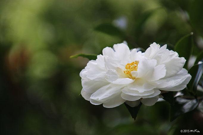サザンカ(白)