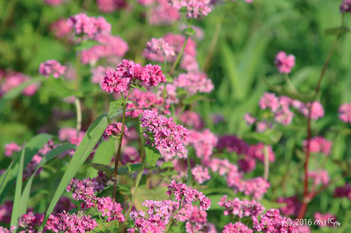 赤ソバの花(あわじ花さじき)