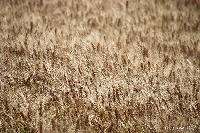 収穫前の麦畑