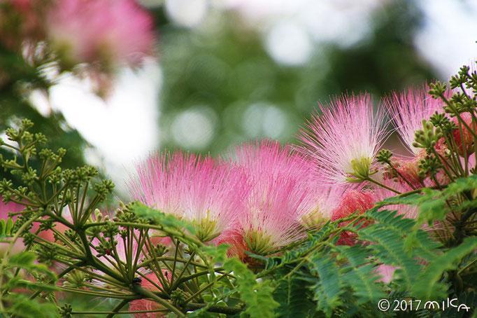 ネムノキの花満開②