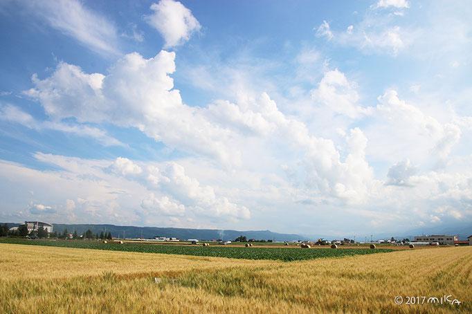 麦畑の広がる丘(北海道美瑛)