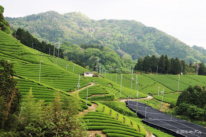 茶畑(京都府和束町)②