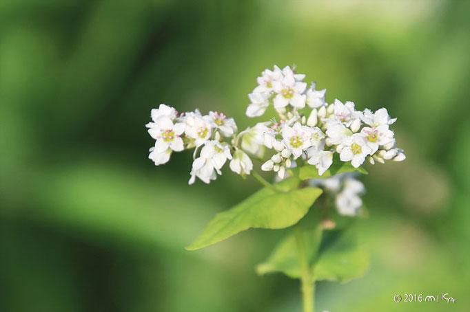 そばの花(白)⑤