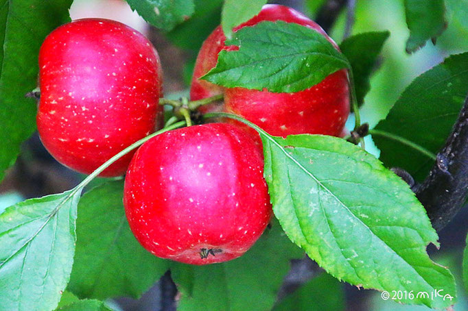 姫リンゴ3つ(10月)