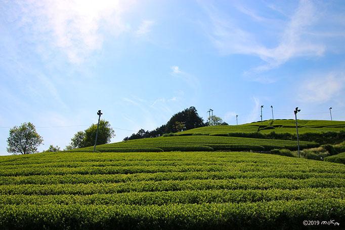 茶畑(京都府和束町)①