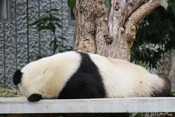 旦旦(タンタン)うしろ向きに寝ている(神戸市立王子動物園)2017年