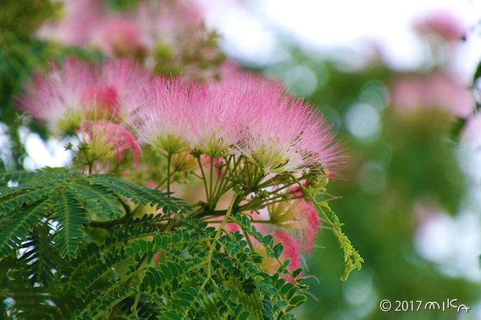 ネムノキの花満開③