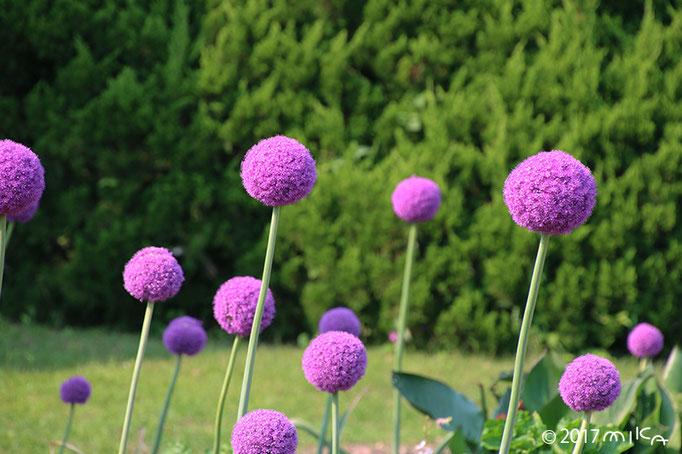 アリウム・ギガンチュームの花畑