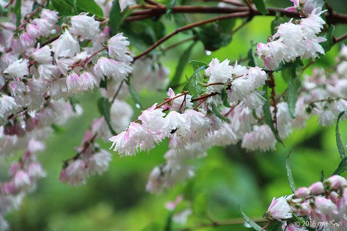 サラサウツギの木