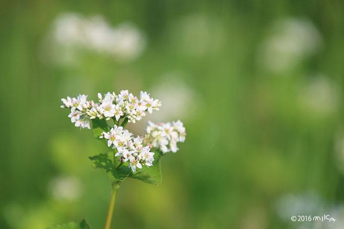 そばの花(白)②