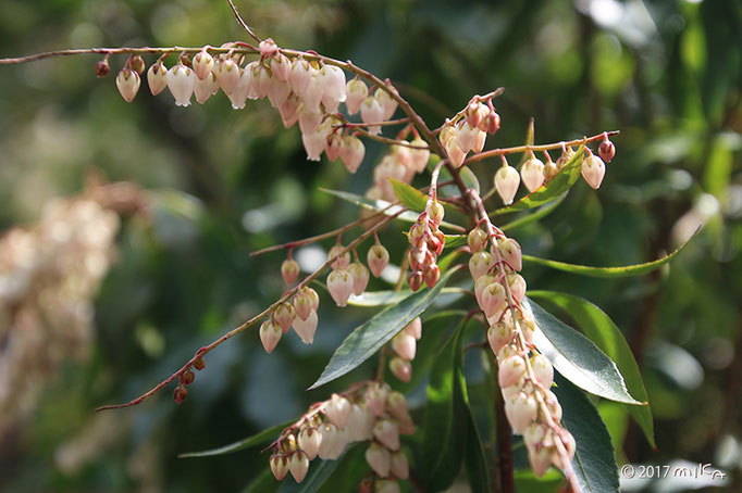 アセビの開花