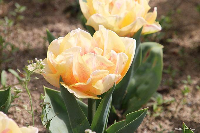 八重咲きのチューリップ(黄色)