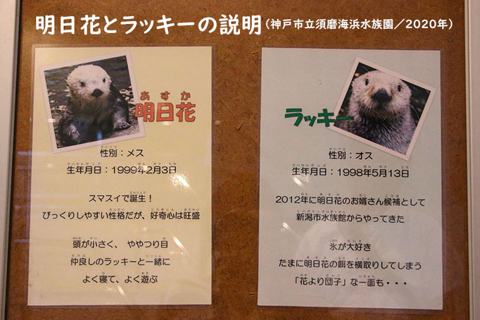 ラッキーと明日花の説明(神戸市立須磨海浜水族園)