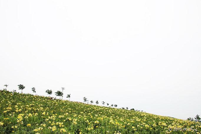 黄色のゆりの花畑(大阪舞洲ゆり園)