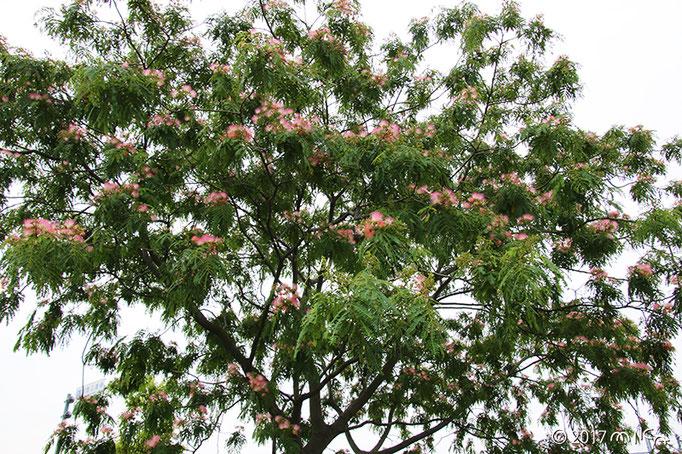 ネムノキの樹木