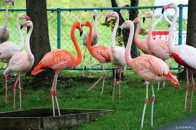 フラミンゴの群れ④(旭山動物園)